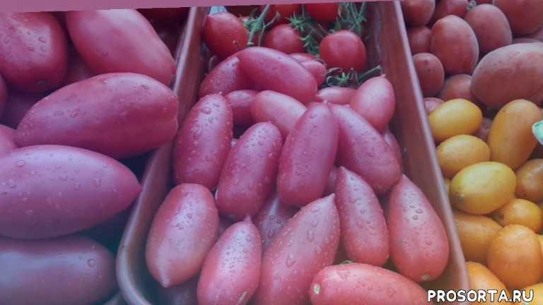 алые свечи, обзор томата, томаты, огородная азбука, ольга чернова