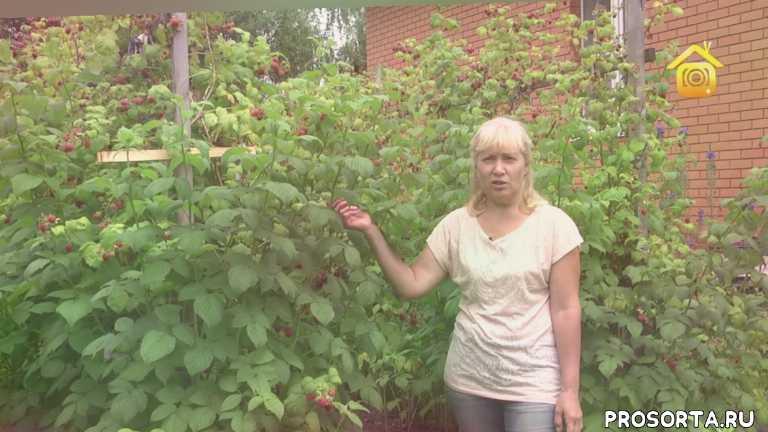 форумхаус, forumhouse, ягоды, уход за малиной, сорты малины, выращивание малины, кусты, кустарник