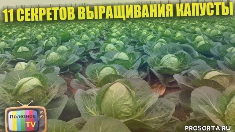 капуста посадка, капуста рассада, когда сажать капусту, способ посева, выращивание рассады капусты, выращивание капусты, семена, рассада