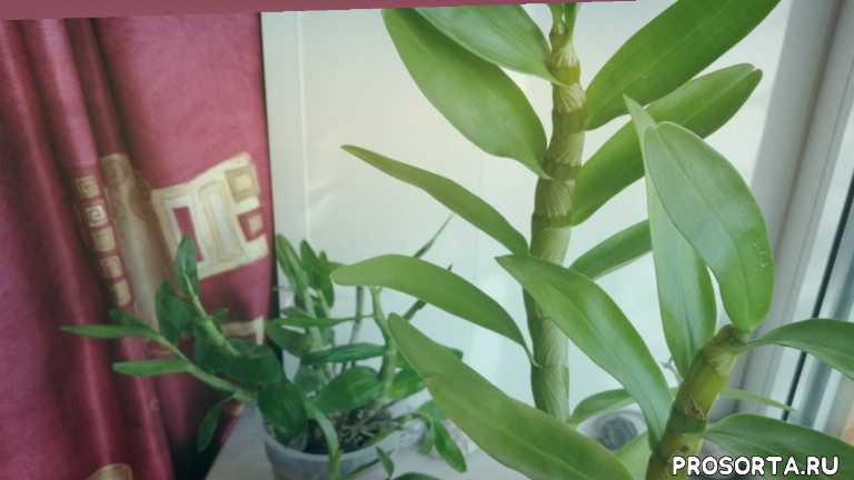 орхомания, начинающие орхоманы, орхолюбители, период роста, цветение дендробиума, цветение орхидеи, в домашних условиях, период созревания псевдобульбы