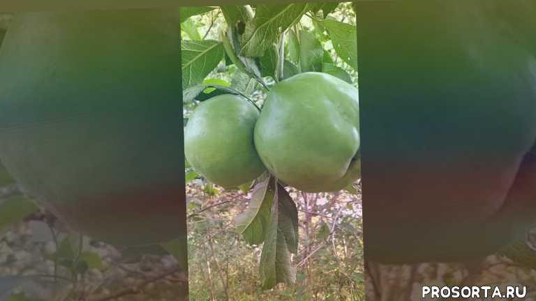 крупноплодная яблоня в сибири, брат чудного