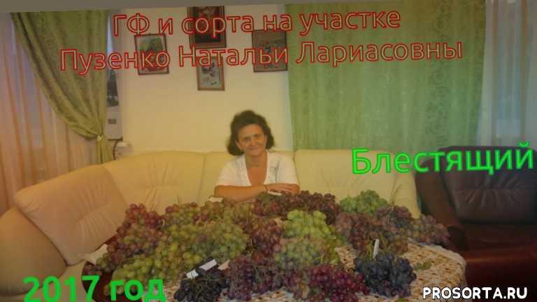 ранний виноград саженцы, виноград раннего срока созревания, виноград для севера, пуз, виноград пузенко, сорт винограда блестящий, блестящий виноград, виноград