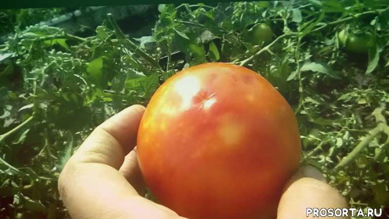 вкусный, сортовой, помидоры