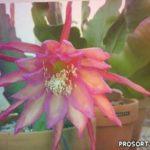 ЭПИФИЛЛУМ – лесной (листовидный) кактус. Как заставить пышно цвести ЭПИФИЛЛУМ