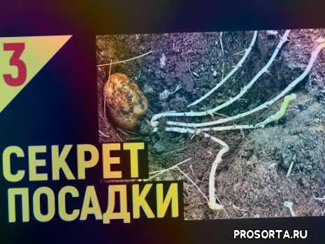 vogorode.pro, вогороде про, в огороде про, как разрезать клубни картофеля, посадка картофеля крупными клубнями, размер клубней картофеля при посадке, когда сажать картофель, посадка картофеля ростками вниз