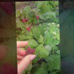 Ягоды малины, сорт Херитейдж. Сентябрь 2017.