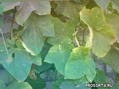 огурцы сорт артист f1, сорт огурцов артист f1, выращивание огурцов артист, выращивание огурца артист