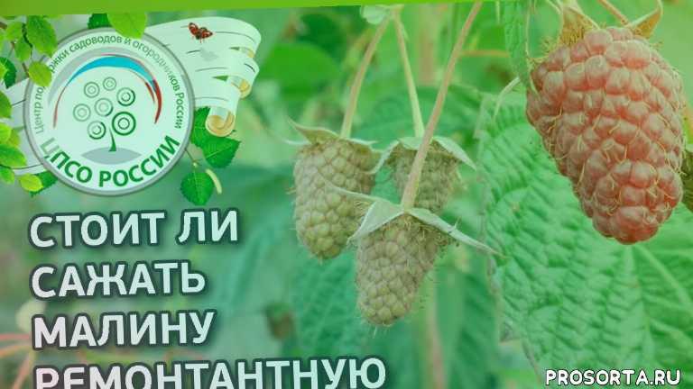 лучшие сорта малины, плюсы и минусы ремонтантной малины, малина осенью, как посадить малину, малина выращивание, саженцы малины, как выращивать малину, посадка малины осенью