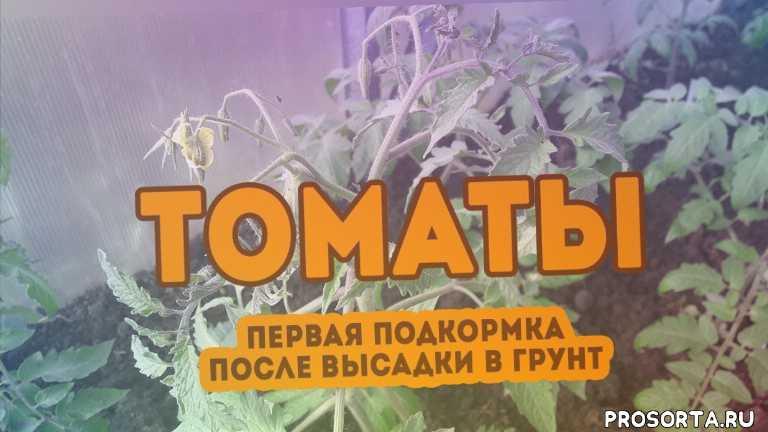 томаты первая подкормк, подкормка томатов в теплице видео, yt:cc=on, подкормка томатов после высадки в грунт, томаты, график подкормки томатов, томаты в теплице, подкормка томатов в открытом грунте