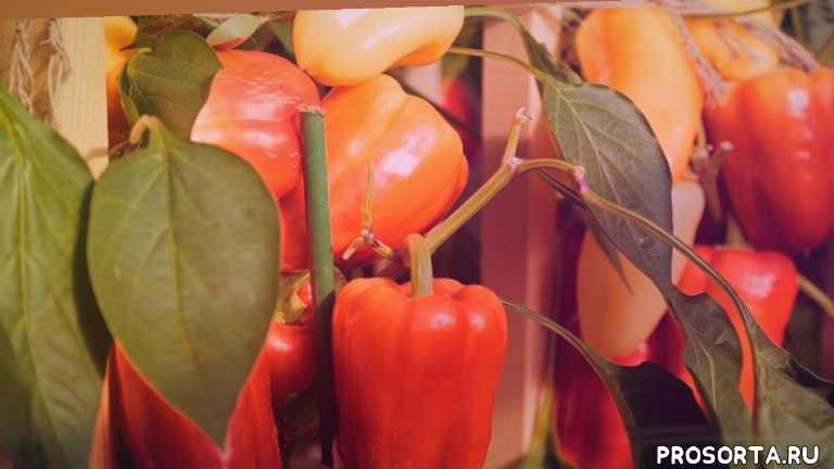 какой сорт перца выбрать, магазин семян, купить семена, семена партнер, урожайный огород, популярные сорта перца, самый урожайный перец, какой перец посадить