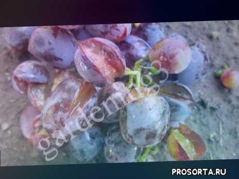 виноград обработка, препарат виног, виноград красный лист, виноград покрылся белым налетом, белый налет +на винограде, вредители винограда, виноград лист, альтернариоз винограда