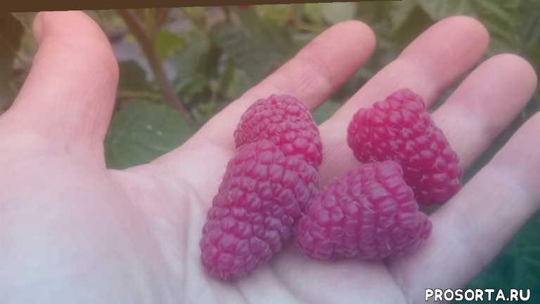 ягода в сибири; ремонтантная малина в омске; сорта ремонтантной малины
