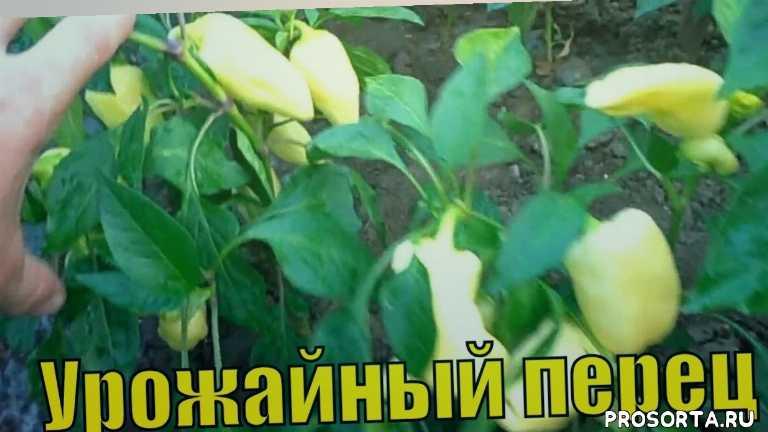 рассада, посев, цветение, завязь, биологическая спелость, техническая спелость, уход, плод