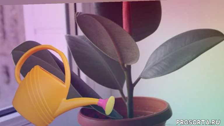 комнатные растения и цветы, мои цветы, домашние цветы, комнатные цветы, как поливать фикус, особенности ухода, размножение фикуса, уход за фикусом