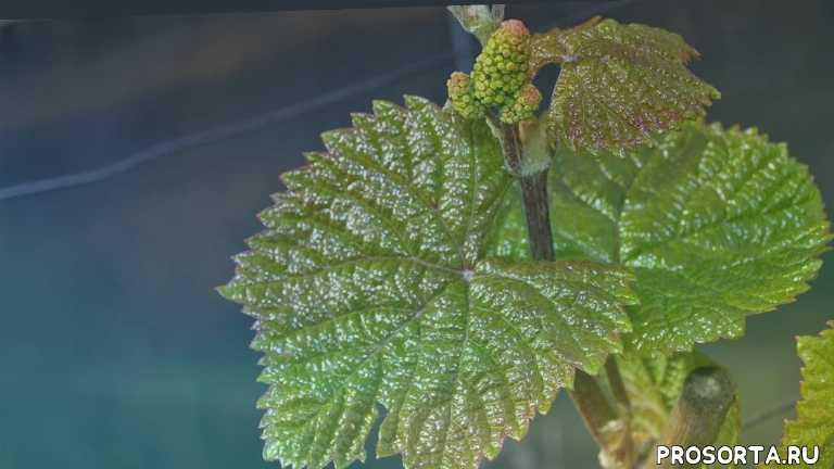 grapes, винный сорт винограда, домашнее вино, виноград мариновский, выращивание, сорта, виноград