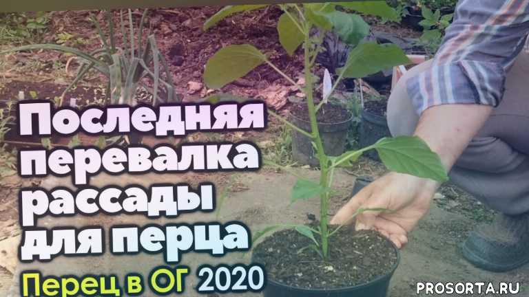перевалка, без пикировки, рассада перца, рассада, перец, открытый грунт, выращивание, сад и огород без перекопки