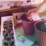 Выращивание огурцов на подоконнике. Проверенный метод. // Олег Карп