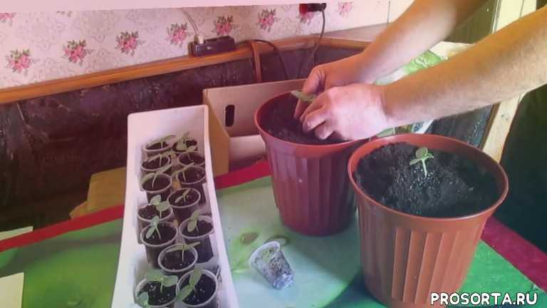 олегкарп, огурцы выращивание, выращивание огурцов в домашних, огурцы в теплице, условия выращивания огурцов, огурцы на балконе выращивание, выращивание огурцов в грунте, выращивание огурцов из рассады