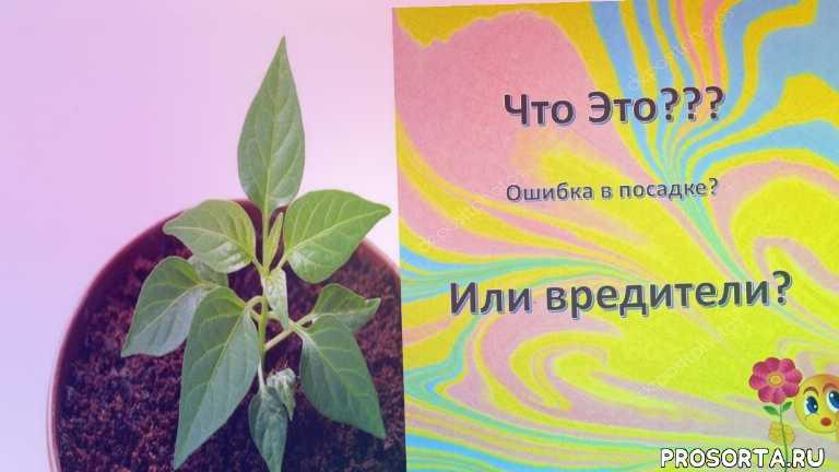 рассада, перец, выращивание рассады, белые точки на перце, переувлажненый грунт, посев перца на рассаду, вредители перца, рассада выращивание