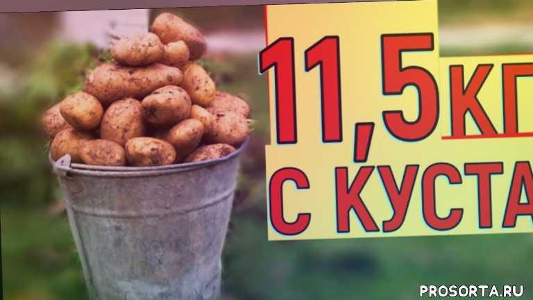 в огороде про, vogorode.pro, выращивание картофеля в бочке, выращивание картофеля в ведре, выращивание картофеля в ящике, выращивание картофеля на маленькой площади, большой урожай картофеля, выращивание картофеля без окучивания