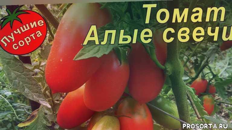 урожайные сорта томатов для теплиц, урожайные томаты для теплиц, лучшие сорта томатов для теплиц, томаты для теплицы, сорта томатов для теплиц, урожайные томаты, урожайные сорта томатов, лучшие томаты