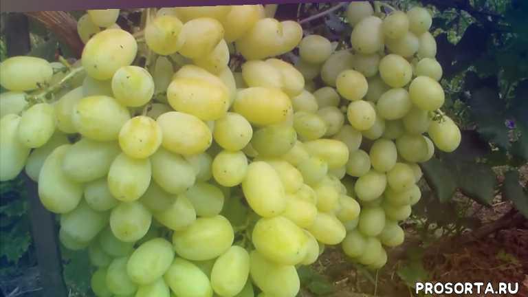 крупная гроздь, крупная ягода, ранний, хрустящая мякоть, янтарный цвет, флора, лора, виноград