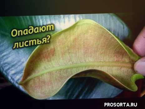 мои растения, комнатные цветы, мои цветы, секреты ухода за фикусом, листья фикуса скручиваются, почему фикус сбрасывает листья, у фикуса желтеют листья по краям, желтеют листья у фикуса эластика