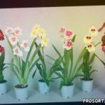 МИЛЬТОНИЯ | Орхидея | Уход и разведение в домашних условиях