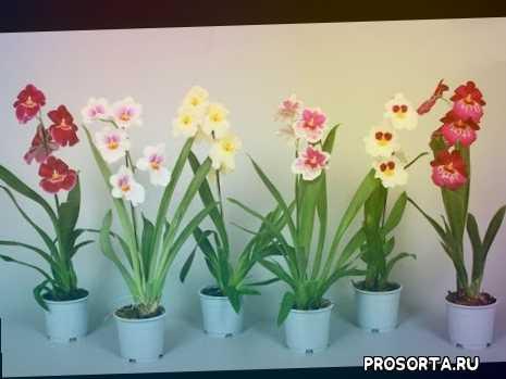 камбрия уход в домашних условиях, камбрия уход в домашних, камбрия уход, орхидея камбрия, мильтония в домашних условиях, мильтония уход в домашних, мильтония уход, орхидея мильтония