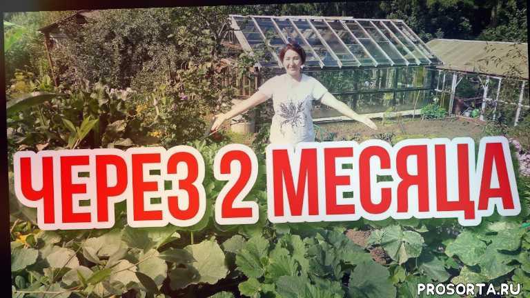 высокие грядки, огород на севере удмуртии, грядки короба, растения, выводы осенью, корнеплоды, урожай, высокая грядка