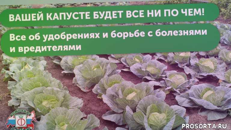 полив капусты, микроудобрения для капусты, поздние сорта капусты, среднеспелые сорта капусты, ранние сорта капусты, сорта капусты, седек, урожайная грядка седек