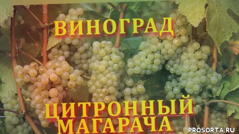 сорта винограда, виноград описание, виноград вино, лучший винный сорт, вино, виноделие, виноград магарач, виноград сорт