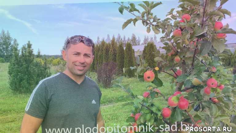 яблоко, лепельский питомник, плодопитомник сад, пепинка золотистая, поздние сорта яблок, жёлтые яблоки, яблоки, яблоня