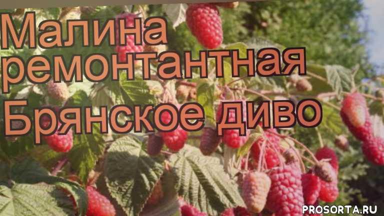 саженцы малины брянское диво, кустарники, ремонтантная малина брянское диво обзор как сажать, ремонтантная малина брянское диво обзор, ремонтантная малина, ремонтантная малина брянское диво, брянское диво обзор, малина брянское диво обзор
