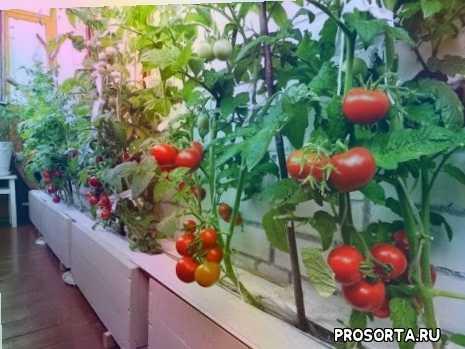 как ухаживать за помидорами, как поливать рассаду, какие семена помидор лучше для дома, помидоры в домашних условиях, выращивание помидор на балконе, как вырастить помидоры дома, как вырастить рассаду помидор, помидоры на балконе