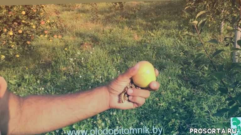 летние сорта яблонь, медуница, яблоня сорт медуница, яблоня