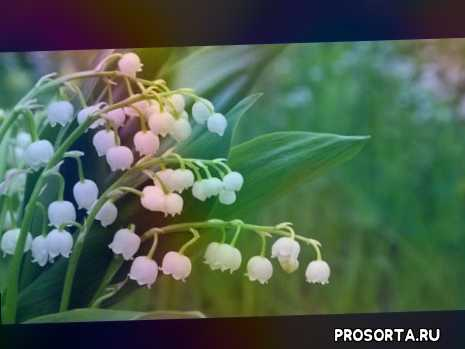 теневыносливые растения, полутень, дача, сад