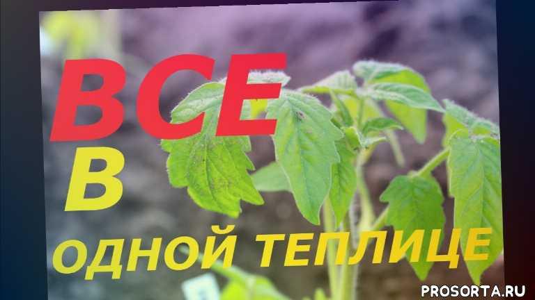 рассада перца, баклажаны, перец, семена, сорта, сорт, урожайность, выращивание