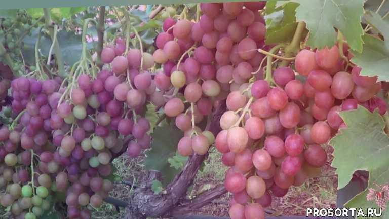 описание винограда, хранение урожая, сбор урожая, роман сокур, селекция загорулько, сорт ливия, виноград ливия, урожай винограда