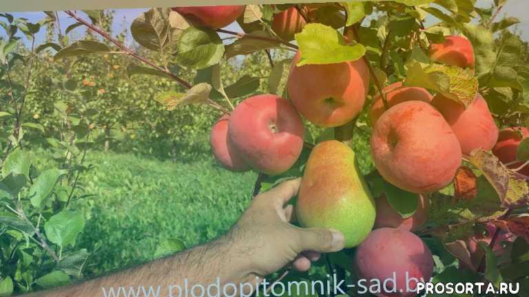 зимние сорта яблок, урожайные сорта яблок, саженцы яблонь, сад беларусь, кфх сад, плодопитомник сад, брянское розовое, яблоки