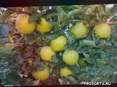 сорт яблони мутсу видео, яблоня мутсу характеристика, яблоня мутсу отзывы, яблоня мутсу видео, сорт яблони мутсу, яблоня сорта мутсу, яблоня мутсу