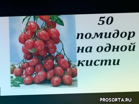 выращивание, урожай, дача, огород, сад, томат чио-чио-сан, томат лучший, томат популярный
