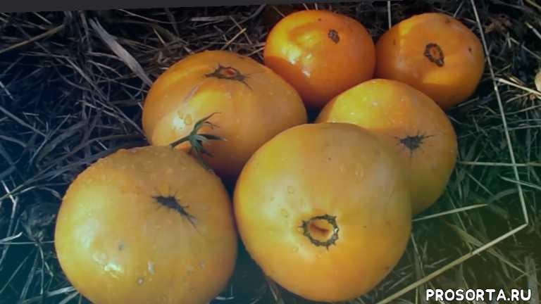томат amana orange