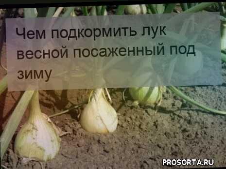 Чем подкормить лук весной посаженный под зиму