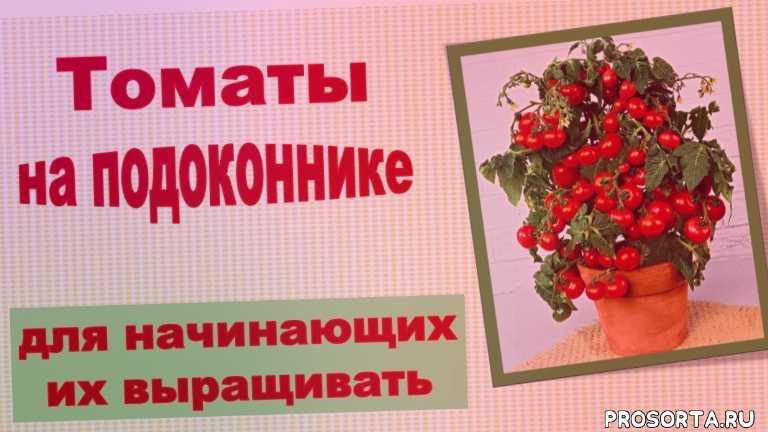 томаты на подоконнике, ранние томаты, балконные помидоры, балконные томаты, выбор сорта томатов, как вырастить томаты на балконе, как вырастить помидоры в квартире, выращивание томатов на подоконнике