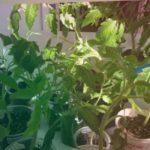 Что случилось с рассадой томатов- желтеют и сохнут нижние листья?
