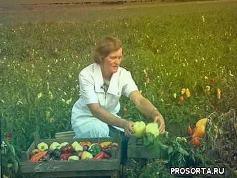 выращивание, урожайность, болгарский перец, огород, поле, сорта, перец, сладкий перец
