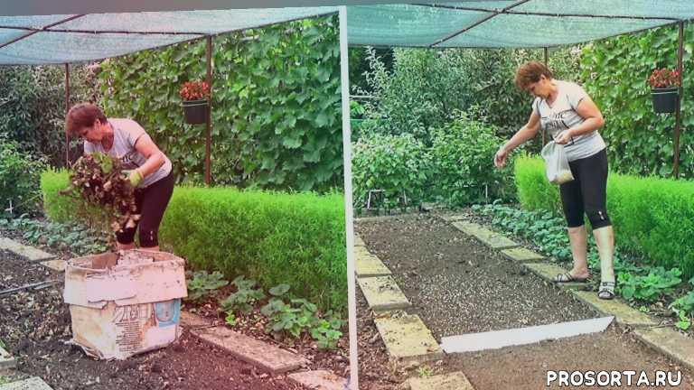 любимая усадьба, сад, после уборки чеснока, в августе, в июле, фацелия, горчица, как сидерат