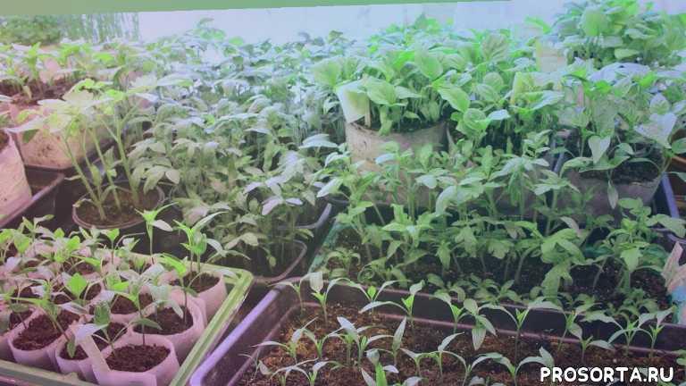 огородный канал, ролики про огород, рассада петунии, рассада перца, рассада помидоров, посев перца на рассаду, посев баклажан, посев баклажанов