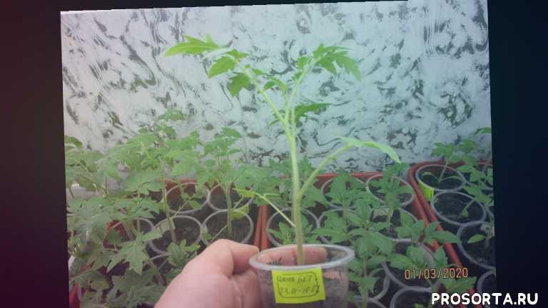 пересорт томатов, посевы 2020, огородная азбука, ольга чернова